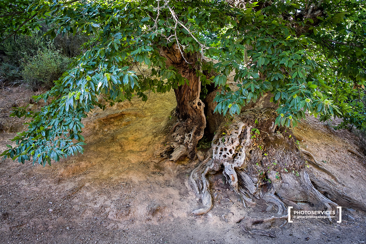 Viejo castaño entre los restos de la explotación minera romana de Las Médulas. Monumento Natural Las Médulas. El Bierzo. León. Castilla y León. España. © Javier Prieto Gallego;